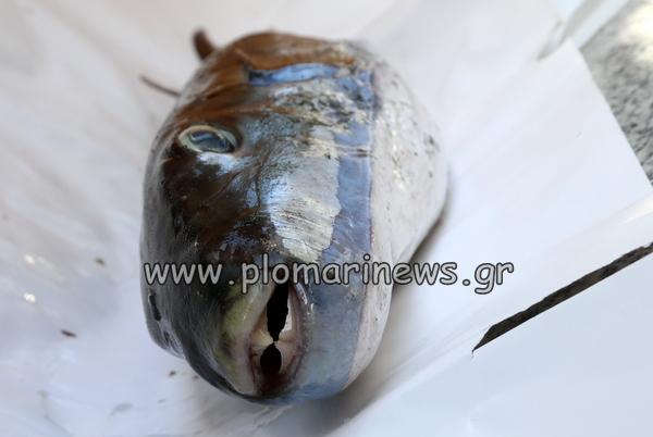 Ψαράς στο Πλωμάρι Λέσβου αλίευσε  (θανατηφόρο) Λαγοκέφαλο